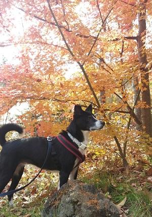2016.11.14犬と紅葉.jpg