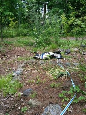 ブログ 荒れ庭の犬.jpg