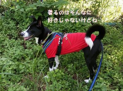 赤Tシャツ犬.jpg