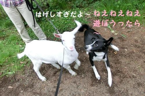 ハルノとヤギ遭遇3.jpg